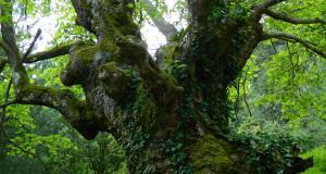 arbori batrani