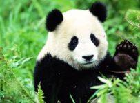 Urșii Panda