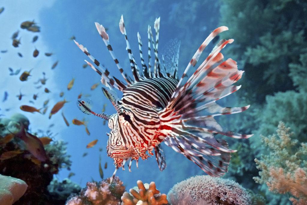 lionfishstud